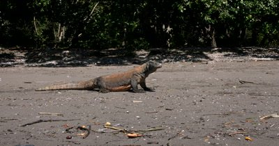 MS Impressive Komodo Dragon, Varanus komodoensis,on beach