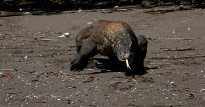 Tit to Reveal Impressive Komodo Dragon,Varanus komodoensis, walking on beach, tongue flicking,towards camera,head on