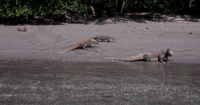 WS Three Komodo Dragons,Varanus komodoensis, walking on the beach,tongues licking