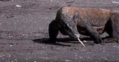 CU Komodo Dragon,Varanus komodoensis, tongue flicking, mouth drooling