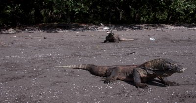 MS Panning Three Komodo Dragons,Varanus komodoensis, one shakes its tongue about