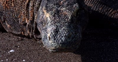 XCU Stunning,Komodo DragonVaranus komodoensis,  face on sea sand