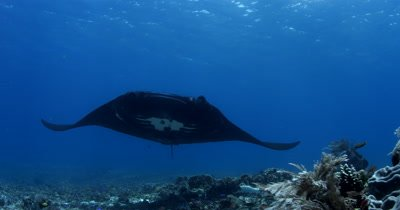 WS Tracking Melanistic Reef Manta with damaged wing, Manta alfredi, swims directly to camera and out of frame.