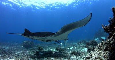 WS Komodo, Reef manta with damaged wing, Manta alfredi,hovers at cleaning station