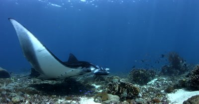 MS to CU Komodo, Reef manta with damaged wing, Manta alfredi,hovers at cleaning station