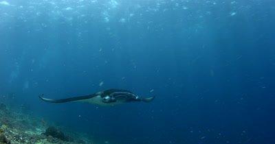 WS Tracking Reef Manta, Manta alfredi, swims directly to camera