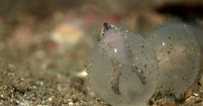 CU Flamboyant Cuttlefish, Metasepia pfefferi, hatching out of its shell and walking away in the sea sand