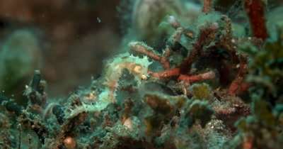 CU of small white Thorny Seahorse, Hippocampus histrix