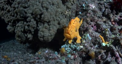 MS Orange Painted Frog Fish, Antennarius pictus, breathing deeply  swims away.