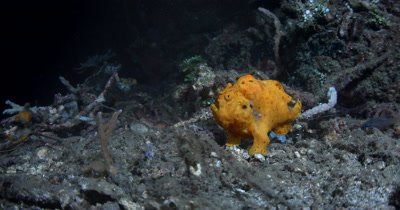 MS Orange Painted Frog Fish, Antennarius pictus, breathing deeply  swims out of frame.