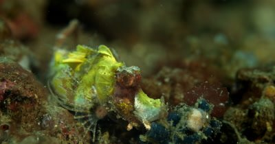 CU of A yellow Juvenile Rhinopias frondosa, sitting on the sea bed