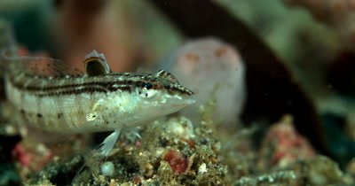 XCU Fish swims right in front of Juvenile Stumpy-Spined Cuttlefish (Dwarf Cuttlefish).   Sepia bandensis