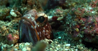 XCU Blotched Jawfish, Opistognathus latitabundus,  with popping/rolling eyes and open mouth