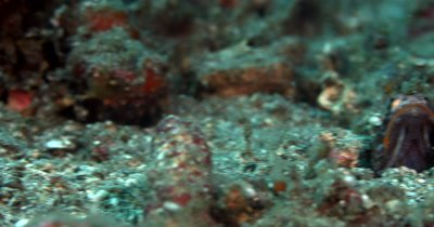 MS Reveal of Blotched Jawfish with popping/rolling  eyes and open mouth moving in and out of its burrow in the sea sand