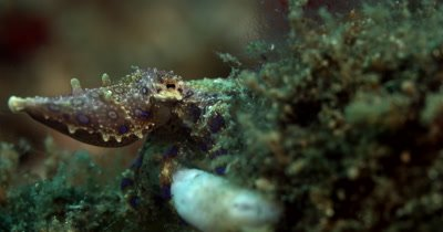 MS Blue-Ringed Octopus, Hapalochlaena lunulata, climbing into a spot to hide away,showing its blue rings shining