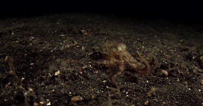 MS Tracking shot of a Veined Octopus (Coconut Octopus) Amphioctopus marginatus