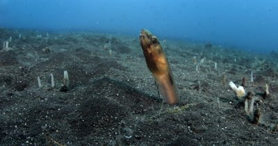 CU Bigeye Conger Eel, Ariosoma anagoides, burrows back down into the sea sand