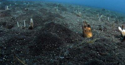 CU Bigeye Conger Eel, Ariosoma anagoides, jerking