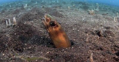 XCU Bigeye Conger Eel, Ariosoma anagoides, burrows back down into the sea sand and hides