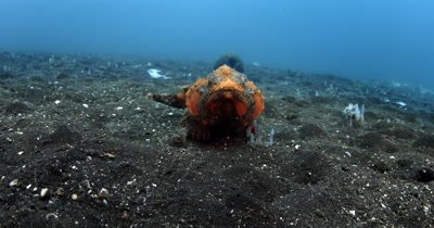 MS to CU of Bandtail Scorpionfish walks straight to camera and out of frame