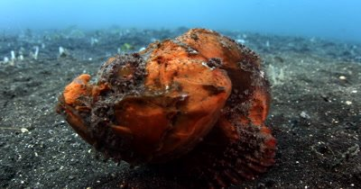 XCU Tracking of Bandtail Scorpionfish walks past camera
