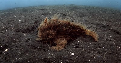 CU Hairy orange Frogfish hunting for a Flounder with it lure.