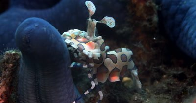 CU of Harlequin Shrimp, Hymenocera elegan, on blue star fish