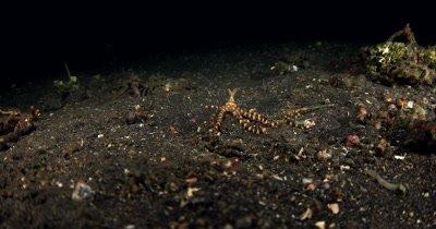WS at Night of hunting Wonderpus, Wonderpus photogenicus, on Sea sand