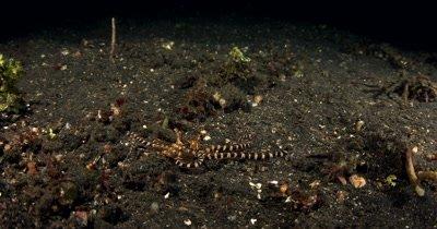 MS Slow motion at Night of hunting Wonderpus, Wonderpus photogenicus, on Sea sand