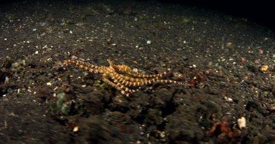 MS at Night of hunting Wonderpus, Wonderpus photogenicus, on Sea sand