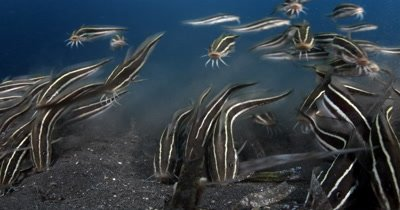 CU of Hunting,School of Striped Eel Catfish, Plotosus lineatus, sucking on the sea sand
