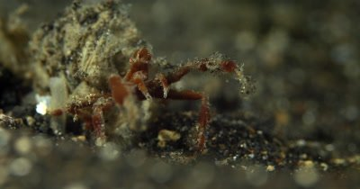 CU of Hunting Spider Crab,Achaeus spinosus