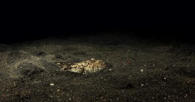 MS Grumpy Whitemargin Stargazer, Uranoscopus sulphureus,  buries itself in the sea sand
