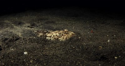 MS Grumpy Whitemargin Stargazer, Uranoscopus sulphureus,  buries itself in the sea sand letting out a puff of air