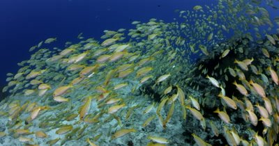 A wide angle shot moving into through and out of Schooling Bluestripe snappers to the blue Lutjanus kasmira