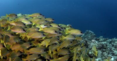 Camera facing a school of Bluestripe Snappers on a coral reef then moves through and over them into the blue Lutjanus kasmira