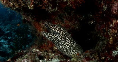 Medium shot of a Honeycomb or Blackspotted Moray Eel peeping out of its home and smiling while Glassfish and Bluefin Jacks pass in the background Gymnothorax favagineus