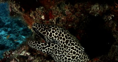 Close shot of a Honeycomb or Blackspotted Moray Eel peeping out of its home and smiling  yawning and rolling its head Gymnothorax favagineus