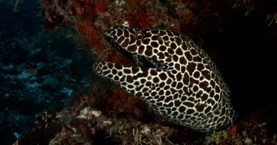 Close shot of a Honeycomb or Blackspotted Moray Eel peeping out of its home and smiling and taking big gulps Gymnothorax favagineus