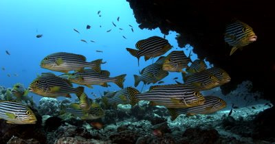 Medium shot of relaxed Schooling Oriental Sweetlips under a coral overhang Plectorhinchus vittatus