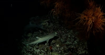 Medium shot of Hunting Whitetip Reefshark Giant Trevally and Moray eels on a coral reef at night Triaenodon obesus Caranx ignobilis