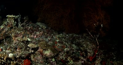 Medium follow shot of Hunting Giant Moray eel on a coral reef at night Gymnothorax javanicus