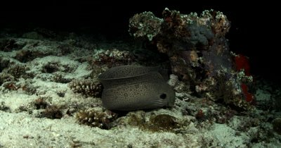Medium follow shot of Hunting Giant Moray eel on a coral reef at night moving from hole to hole looking for food then swims out of frame Gymnothorax javanicus