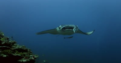 A Reef Manta slowly approaches the camera with his mouth and gills wide open to circles overhead as 2 more mantas glide in Remora Shark Sucker Manta alfredi Echeneis naucrates
