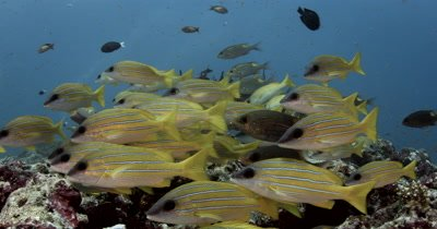 Close to Wide reveal starting on Schooling Bluestripe snappers at a reef cleaning station covered in fish then tilt up to two Reef Mantas dancing Remora Shark Sucker Manta alfredi Echeneis naucrates