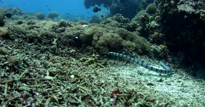 Hunting Black banded Sea Krait,Laticauda semifasciata