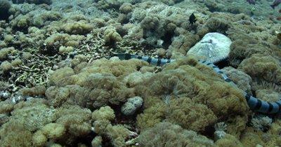 Hunting Black banded Sea Krait,Laticauda semifasciata