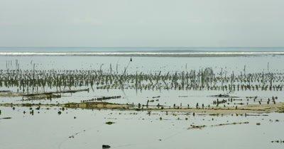 Wide shot of the seaweed farming in the sea, Eucheuma spp