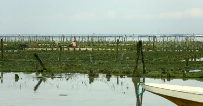 Wide Shot of two Seaweed farmers harvesting their crop, Eucheuma spp.
