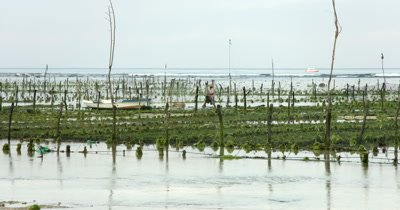 Wide shot of Seaweed Farmers working on their crops,Eucheuma spp.
